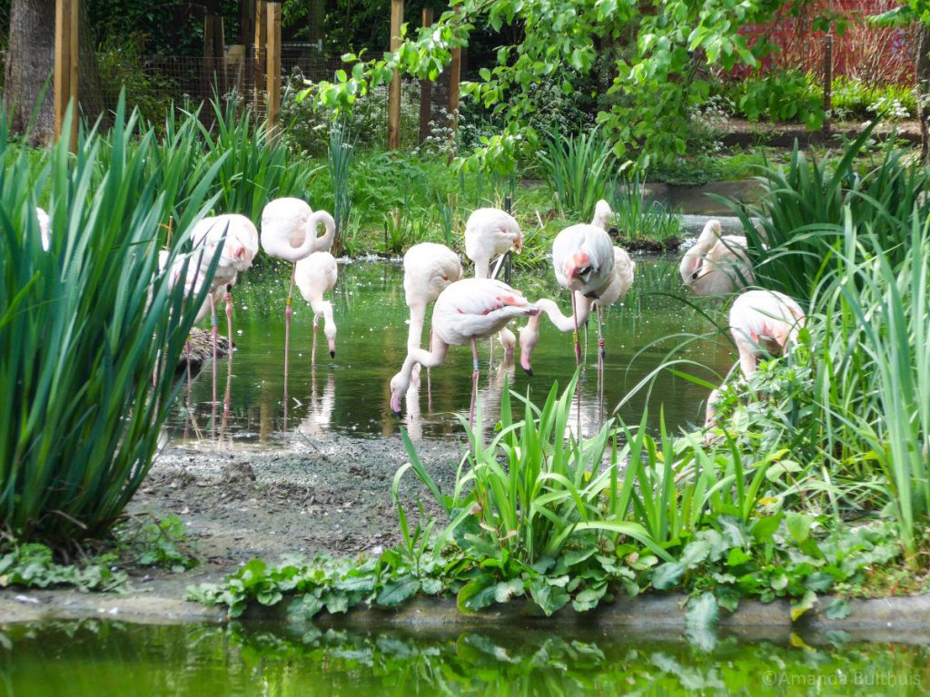 London Zoo Flamingo's
