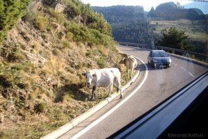 Koeien langs de weg in Andorra