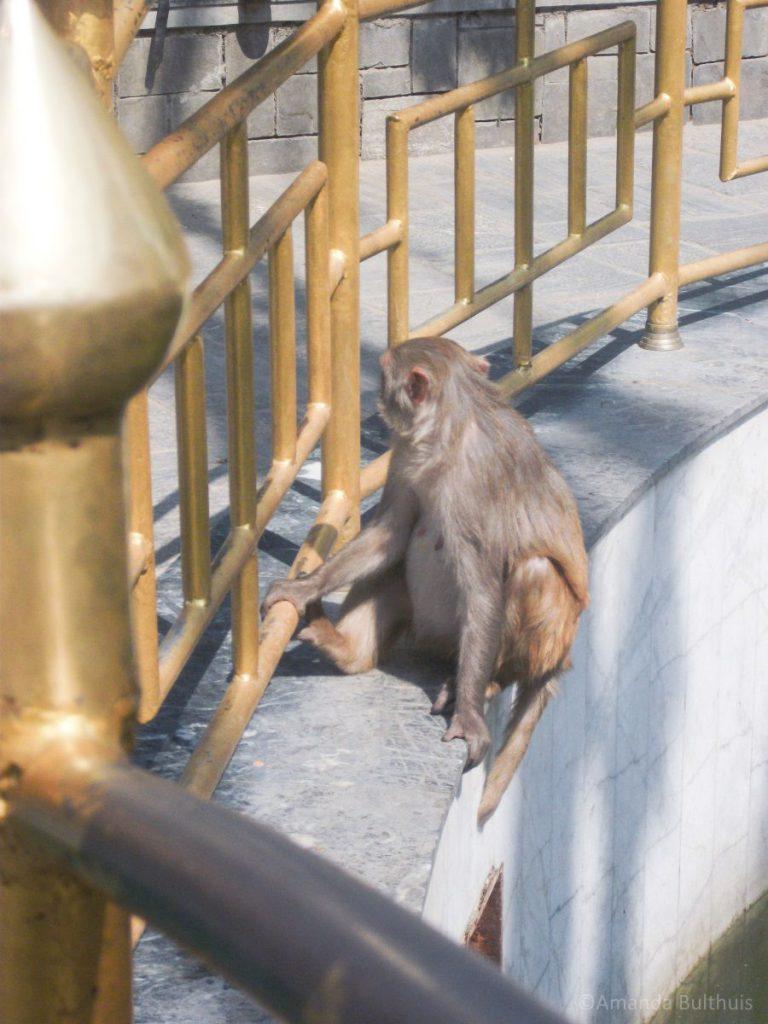 Apentempel, Kathmandu